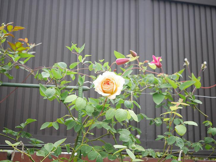 バスシーバ(Bathsheba)の2番花が咲いた。ツルバラ。2020年-008.jpg