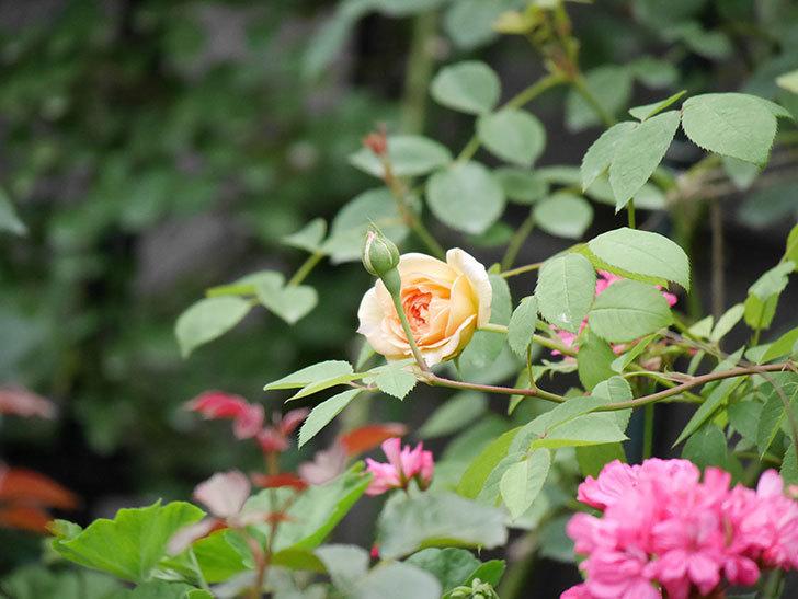 バスシーバ(Bathsheba)の2番花が咲いた。ツルバラ。2020年-009.jpg