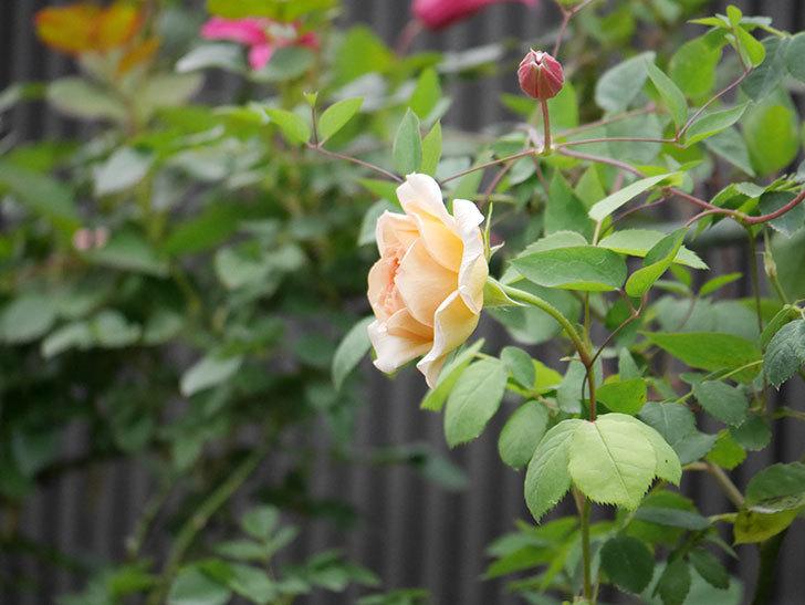 バスシーバ(Bathsheba)の2番花が咲いた。ツルバラ。2020年-010.jpg