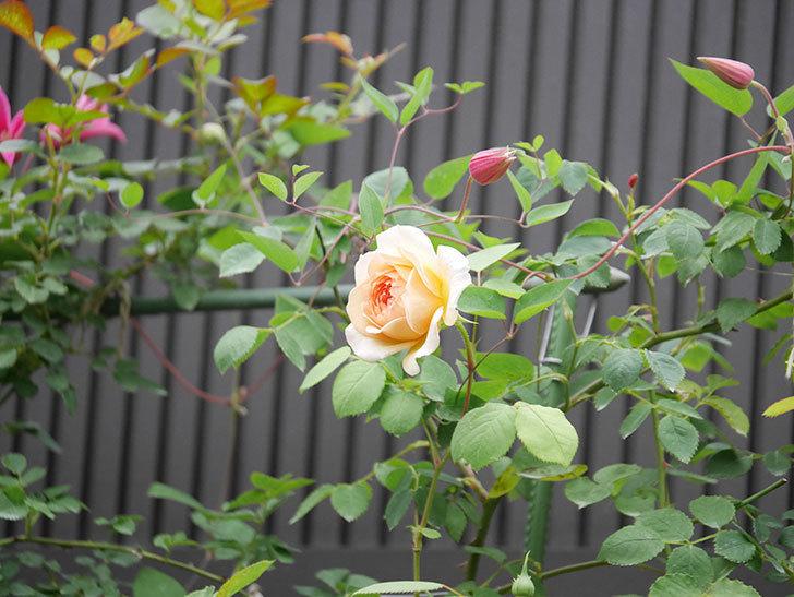 バスシーバ(Bathsheba)の2番花が咲いた。ツルバラ。2020年-011.jpg