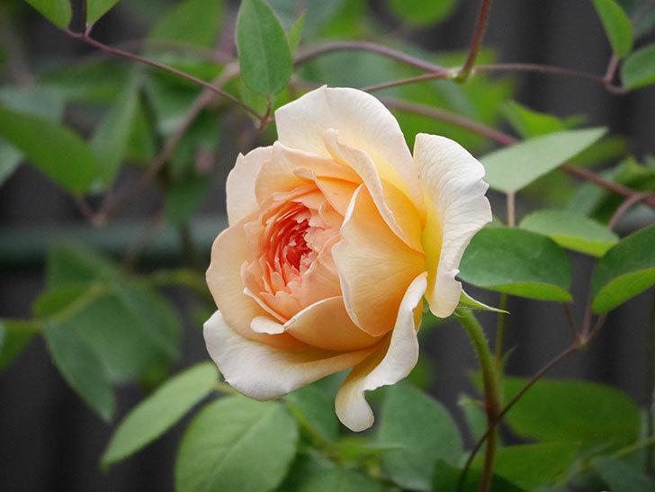 バスシーバ(Bathsheba)の2番花が咲いた。ツルバラ。2020年-012.jpg