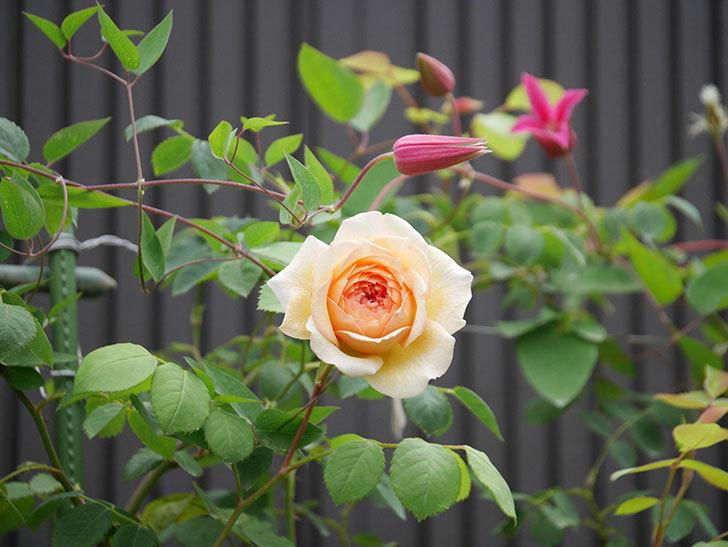 バスシーバ(Bathsheba)の2番花が咲いた。ツルバラ。2020年-013.jpg