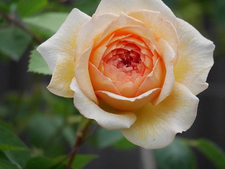 バスシーバ(Bathsheba)の2番花が咲いた。ツルバラ。2020年-014.jpg