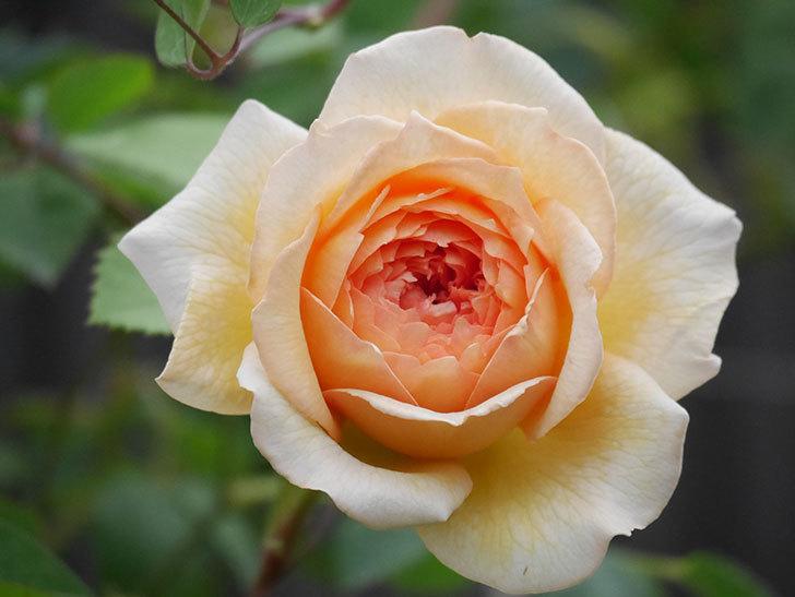 バスシーバ(Bathsheba)の2番花が咲いた。ツルバラ。2020年-015.jpg