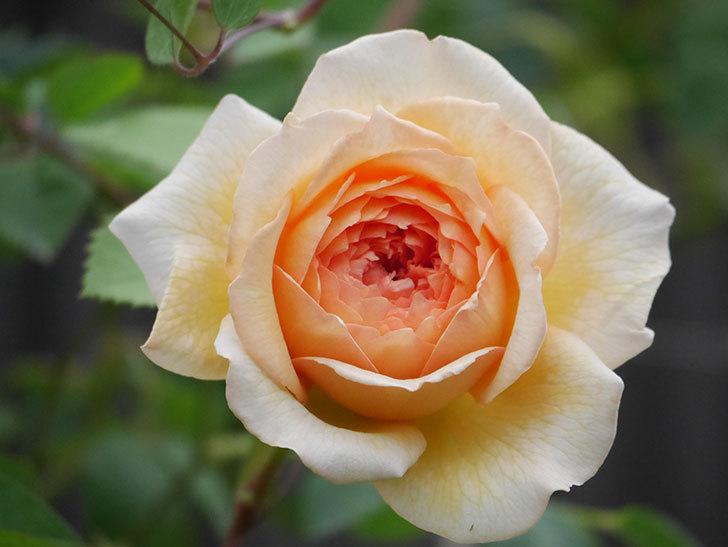 バスシーバ(Bathsheba)の2番花が咲いた。ツルバラ。2020年-016.jpg
