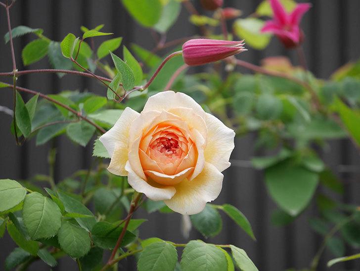 バスシーバ(Bathsheba)の2番花が咲いた。ツルバラ。2020年-017.jpg