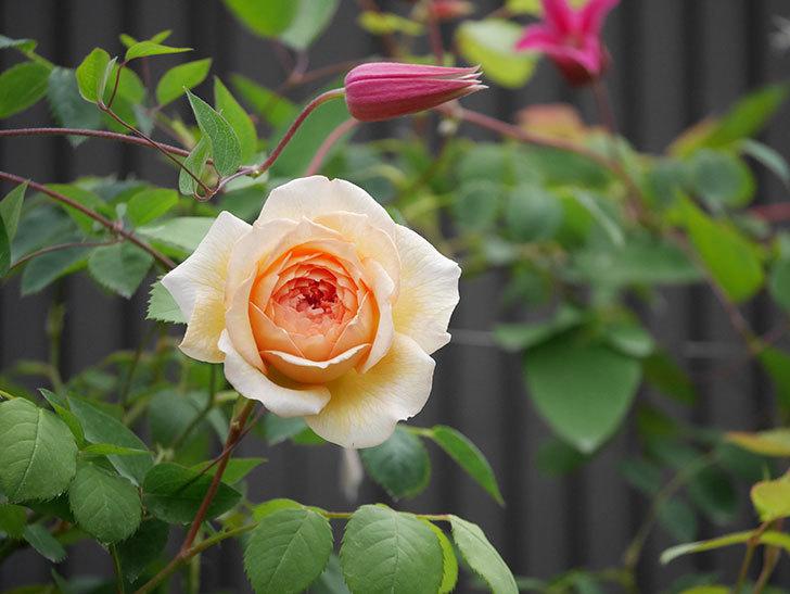 バスシーバ(Bathsheba)の2番花が咲いた。ツルバラ。2020年-018.jpg