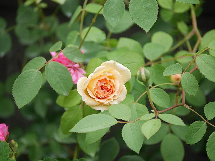 バスシーバ(Bathsheba)の2番花が咲いた。ツルバラ。2020年-019.jpg
