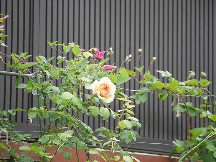 バスシーバ(Bathsheba)の2番花が咲いた。ツルバラ。2020年-020.jpg