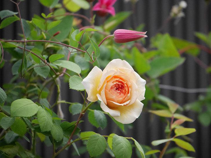 バスシーバ(Bathsheba)の2番花が咲いた。ツルバラ。2020年-021.jpg