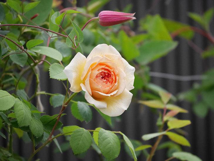 バスシーバ(Bathsheba)の2番花が咲いた。ツルバラ。2020年-022.jpg