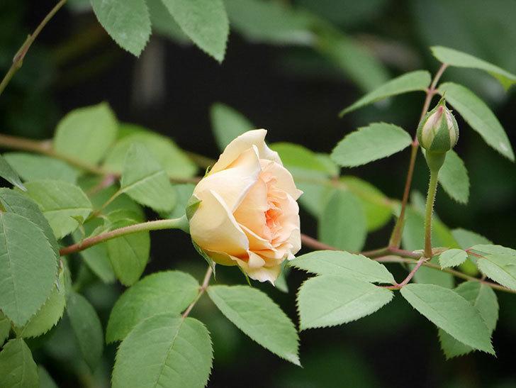 バスシーバ(Bathsheba)の2番花が咲いた。ツルバラ。2020年-023.jpg