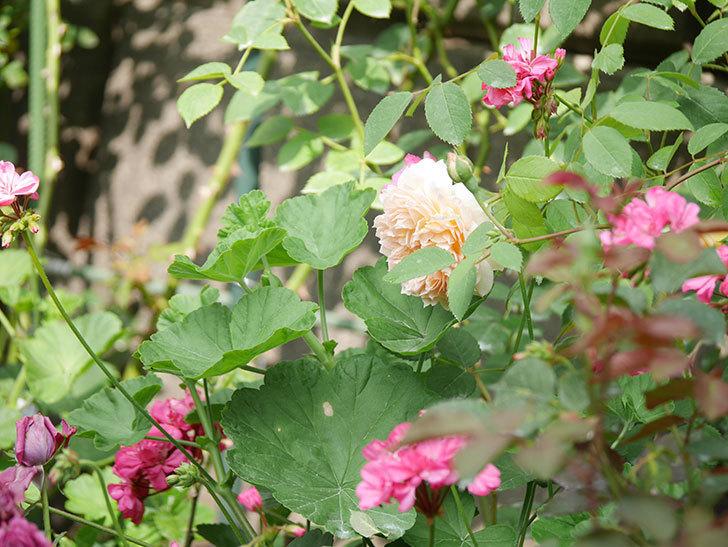 バスシーバ(Bathsheba)の2番花が咲いた。ツルバラ。2020年-025.jpg