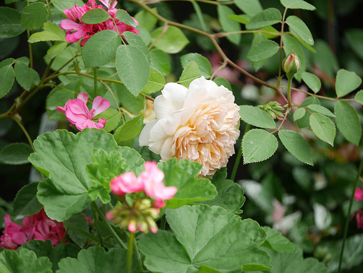 バスシーバ(Bathsheba)の2番花が咲いた。ツルバラ。2020年-026.jpg