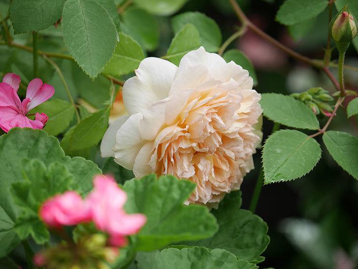 バスシーバ(Bathsheba)の2番花が咲いた。ツルバラ。2020年-027.jpg