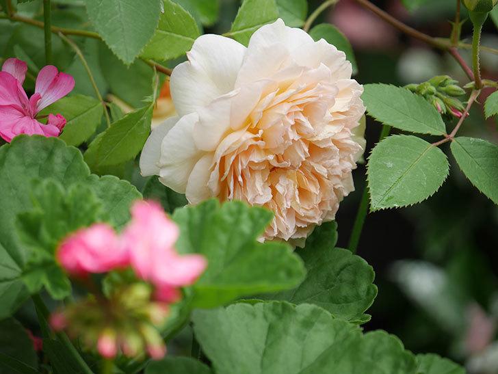 バスシーバ(Bathsheba)の2番花が咲いた。ツルバラ。2020年-028.jpg