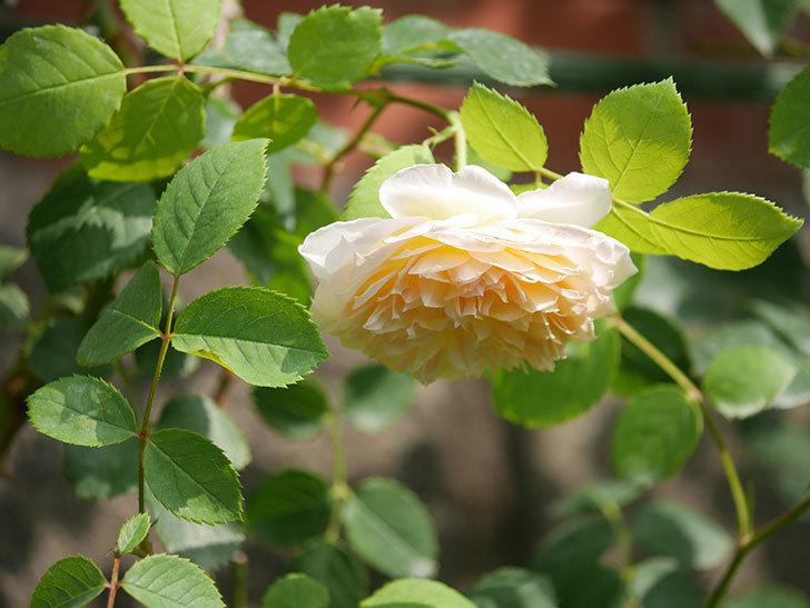 バスシーバ(Bathsheba)の2番花が咲いた。ツルバラ。2020年-029.jpg