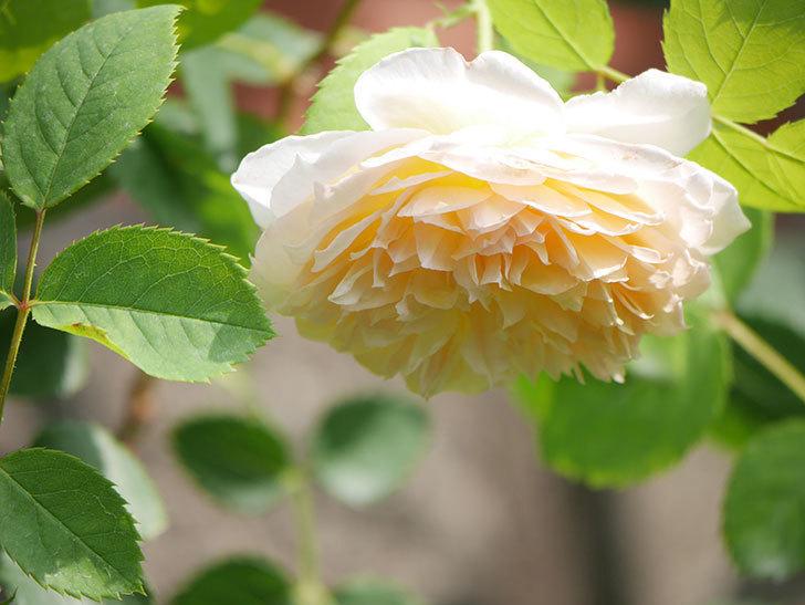 バスシーバ(Bathsheba)の2番花が咲いた。ツルバラ。2020年-030.jpg