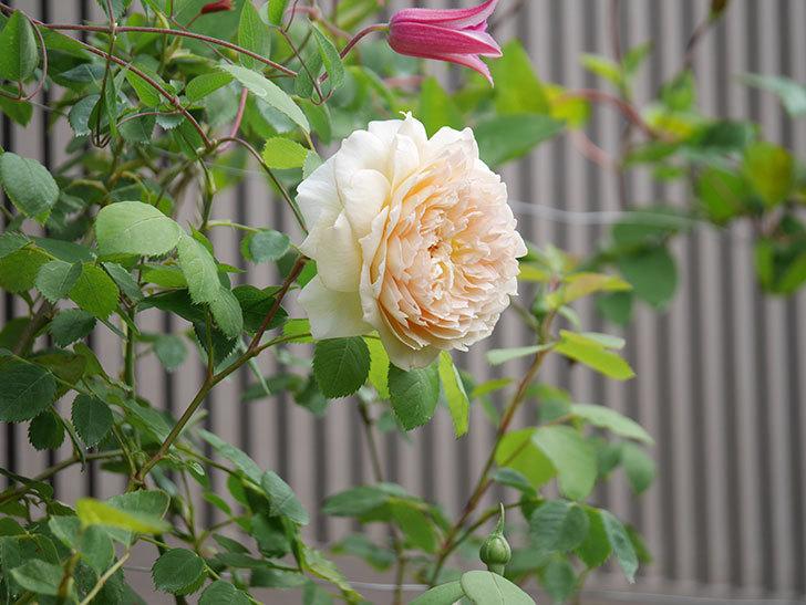 バスシーバ(Bathsheba)の2番花が咲いた。ツルバラ。2020年-031.jpg