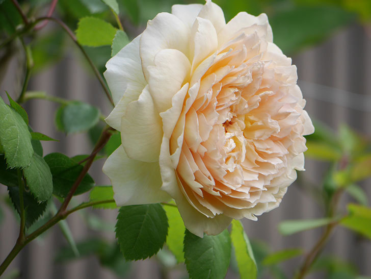 バスシーバ(Bathsheba)の2番花が咲いた。ツルバラ。2020年-032.jpg