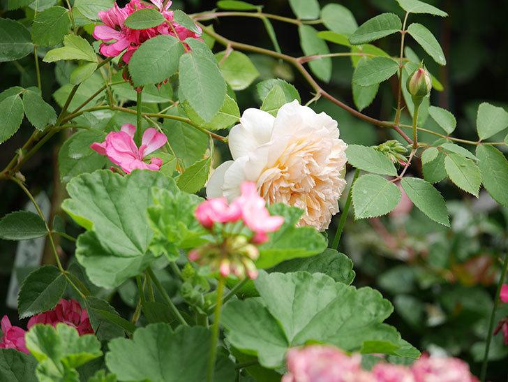 バスシーバ(Bathsheba)の2番花が咲いた。ツルバラ。2020年-033.jpg