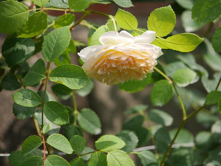 バスシーバ(Bathsheba)の2番花が咲いた。ツルバラ。2020年-034.jpg