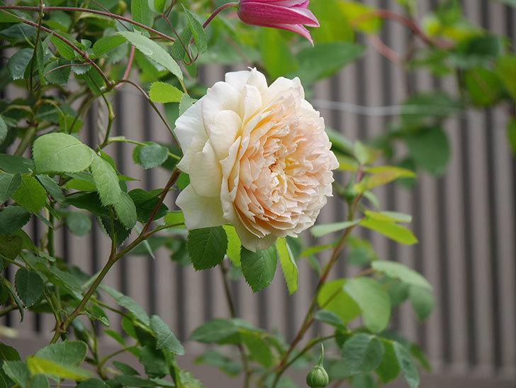 バスシーバ(Bathsheba)の2番花が咲いた。ツルバラ。2020年-035.jpg