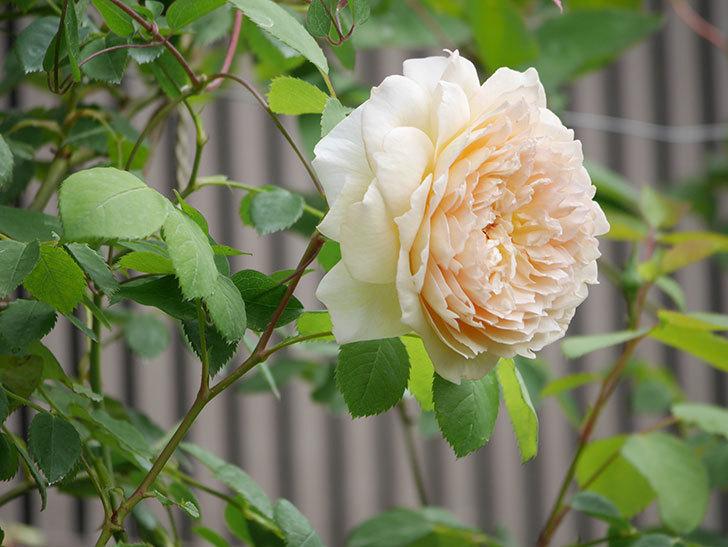 バスシーバ(Bathsheba)の2番花が咲いた。ツルバラ。2020年-036.jpg