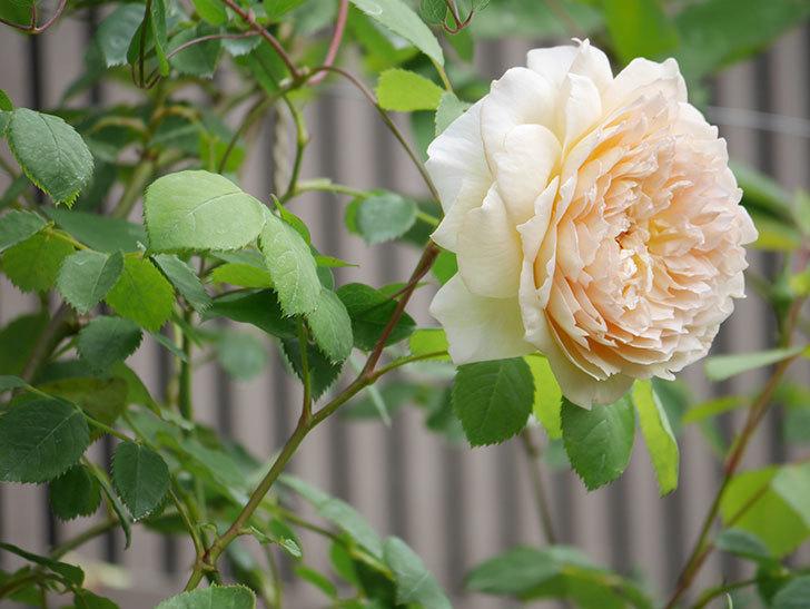 バスシーバ(Bathsheba)の2番花が咲いた。ツルバラ。2020年-037.jpg