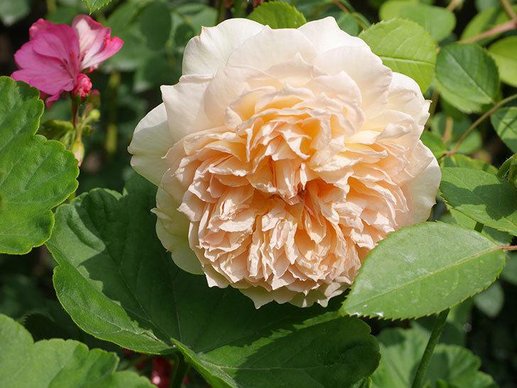 バスシーバ(Bathsheba)の2番花が咲いた。ツルバラ。2020年-038.jpg