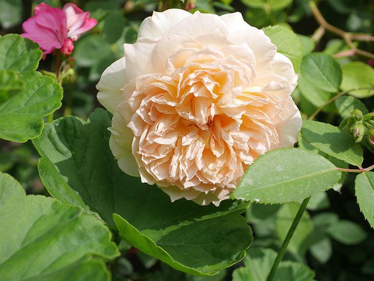 バスシーバ(Bathsheba)の2番花が咲いた。ツルバラ。2020年-039.jpg