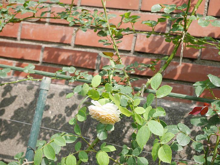 バスシーバ(Bathsheba)の2番花が咲いた。ツルバラ。2020年-040.jpg