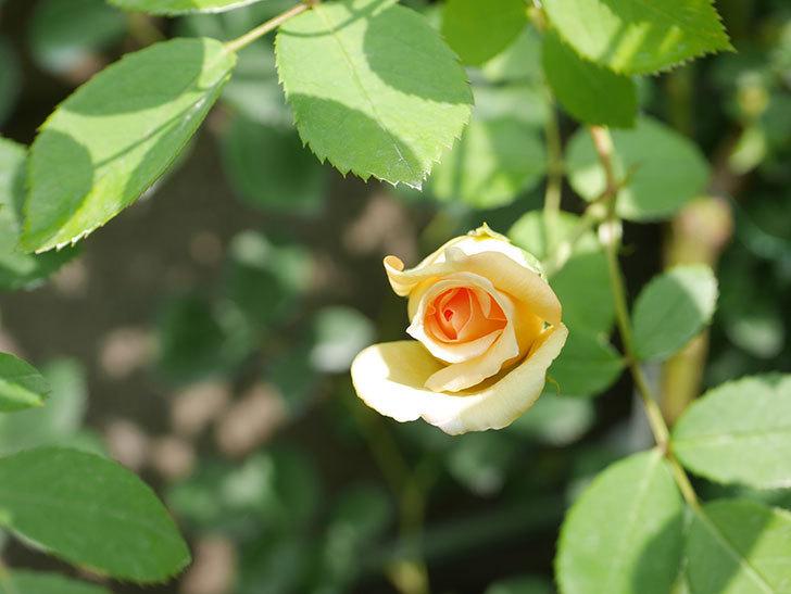 バスシーバ(Bathsheba)の2番花が咲いた。ツルバラ。2020年-041.jpg