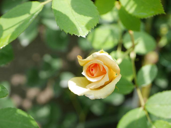 バスシーバ(Bathsheba)の2番花が咲いた。ツルバラ。2020年-042.jpg