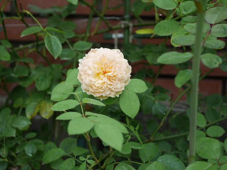 バスシーバ(Bathsheba)の夏花がまた咲いた。ツルバラ。2020年-001.jpg