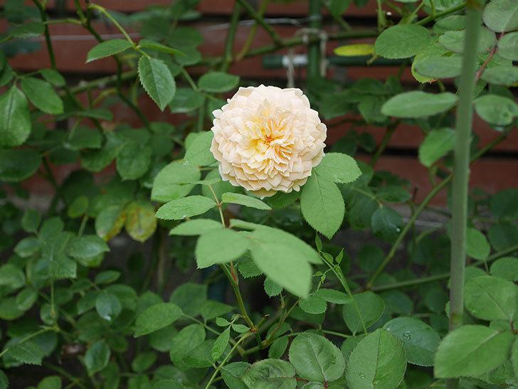 バスシーバ(Bathsheba)の夏花がまた咲いた。ツルバラ。2020年-002.jpg