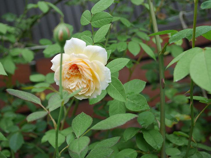 バスシーバ(Bathsheba)の夏花がまた咲いた。ツルバラ。2020年-003.jpg