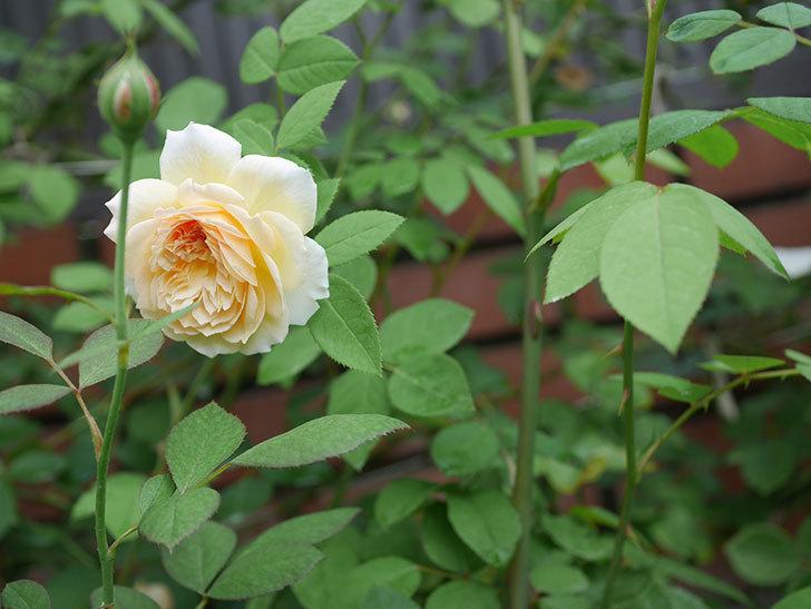 バスシーバ(Bathsheba)の夏花がまた咲いた。ツルバラ。2020年-004.jpg