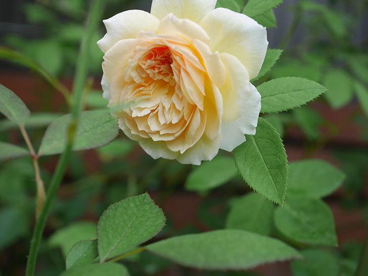 バスシーバ(Bathsheba)の夏花がまた咲いた。ツルバラ。2020年-005.jpg