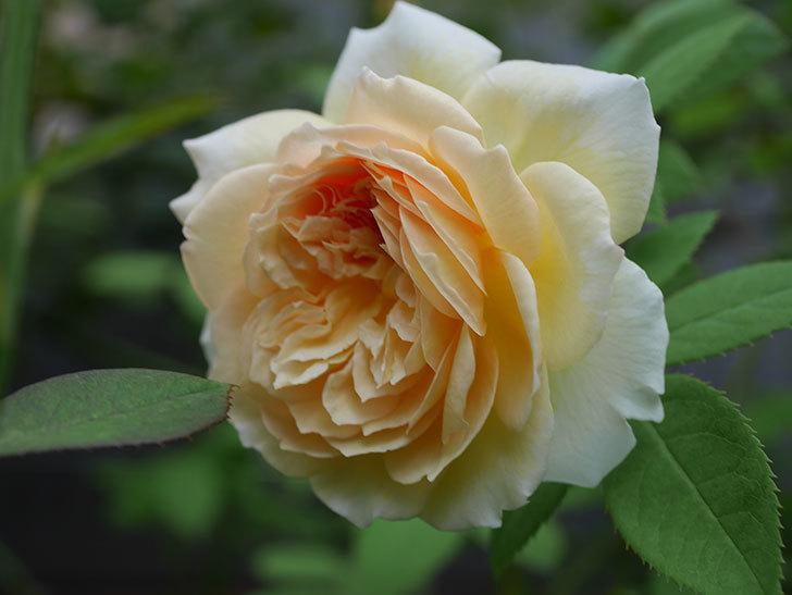 バスシーバ(Bathsheba)の夏花がまた咲いた。ツルバラ。2020年-006.jpg