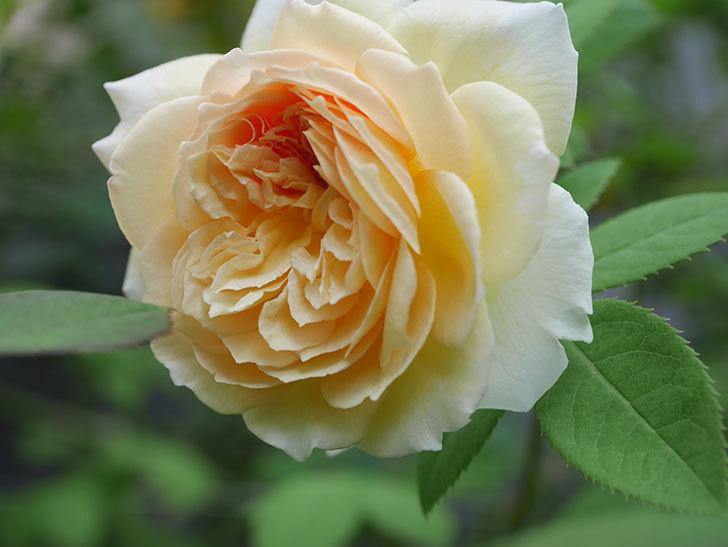 バスシーバ(Bathsheba)の夏花がまた咲いた。ツルバラ。2020年-007.jpg
