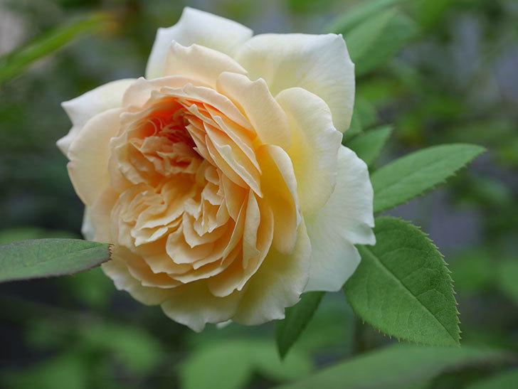バスシーバ(Bathsheba)の夏花がまた咲いた。ツルバラ。2020年-008.jpg