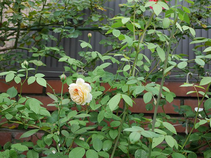 バスシーバ(Bathsheba)の夏花がまた咲いた。ツルバラ。2020年-009.jpg