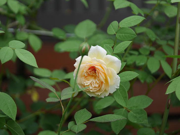 バスシーバ(Bathsheba)の夏花がまた咲いた。ツルバラ。2020年-010.jpg