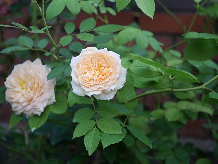 バスシーバ(Bathsheba)の夏花が咲いた。ツルバラ。2020年-001.jpg