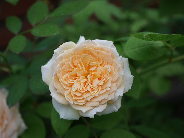 バスシーバ(Bathsheba)の夏花が咲いた。ツルバラ。2020年-002.jpg