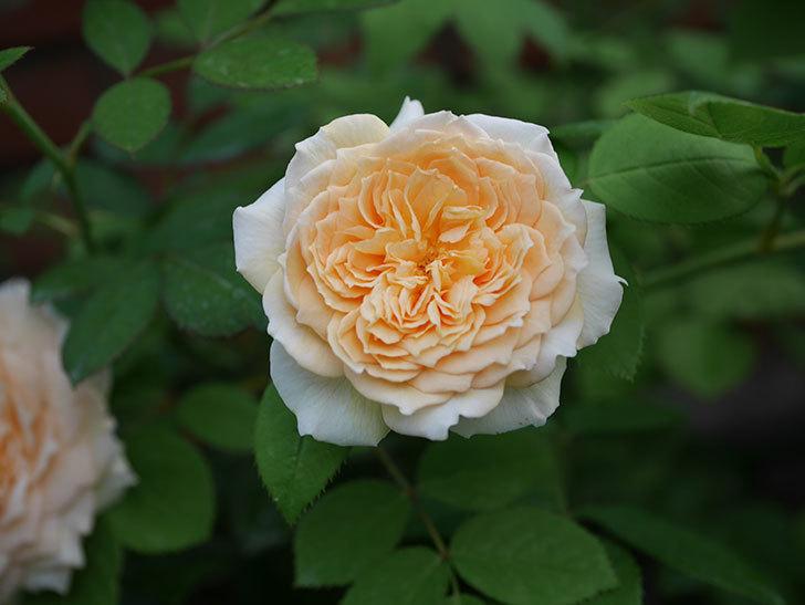 バスシーバ(Bathsheba)の夏花が咲いた。ツルバラ。2020年-003.jpg