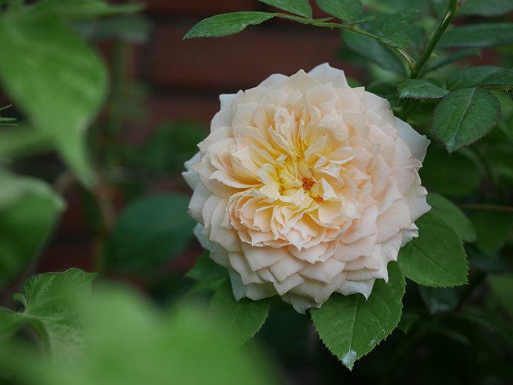 バスシーバ(Bathsheba)の夏花が咲いた。ツルバラ。2020年-004.jpg