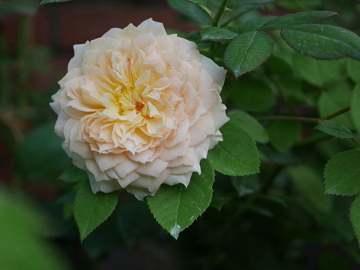 バスシーバ(Bathsheba)の夏花が咲いた。ツルバラ。2020年-005.jpg