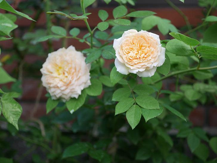 バスシーバ(Bathsheba)の夏花が咲いた。ツルバラ。2020年-006.jpg